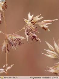 Corynephorus canescens | Flora-On
