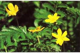 Plants Profile for Argentina anserina (silverweed cinquefoil)