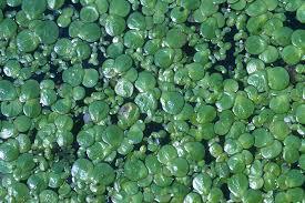 Spirodela polyrhiza - Wikipedia