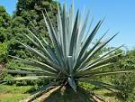 Images & Illustrations of agave