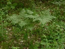 Pteridium aquilinum - Michigan Flora