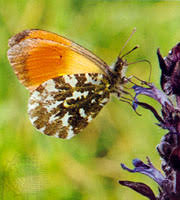 <b>butterfly</b> | Life Cycle, Classification, & Facts | Britannica