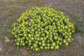 Euphorbia regis-jubae - Wikipedia