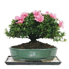 brussel39s bonsai satsuki azalea bonsai dt 6016az the home add bonsai office interior