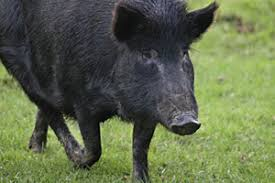 Image result for hunting wild pigs in nz