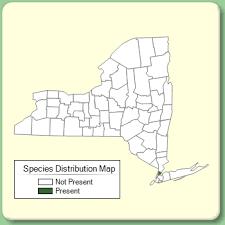 Falcaria vulgaris - Species Page - NYFA: New York Flora Atlas