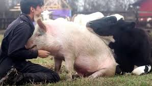 Image result for cows and pigs together