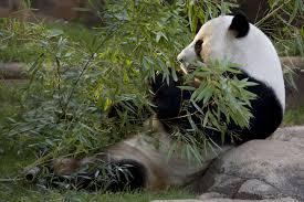 <b>Panda</b> Cam - Zoo Atlanta