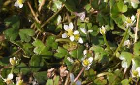 Identifying Three-lobed Water-crowfoot
