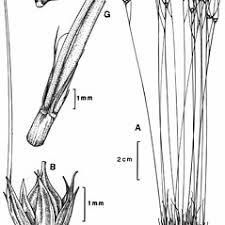 Juncus trifidus (highland rush): Go Botany