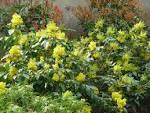 Arbuste feuillage persistant : liste - Ooreka