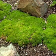 Scleranthus biflorus - Growing Native Plants