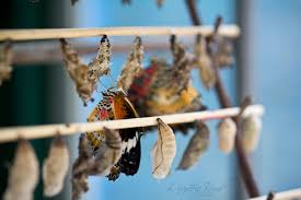 photo essay the butterflies of chiang mai quixotic road it was a sad scene but what really caught my eye was a small table set away from the chrysalis display it had a tray full of empty and discarded chrysalis