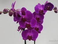 10+ <b>Phalaenopsis</b> Identification ideas | <b>phalaenopsis</b>, orchids ...