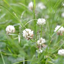 A Field Of Clover, Living From Glory To Glory Blog...