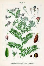 Vicia cassubica - Wikipedia