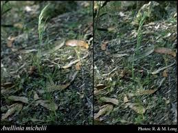 Avellinia michelii (Savi) Parl.: FloraBase: Flora of Western Australia
