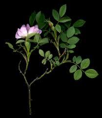 Rosa dumalis Bechst. subsp. vosagiaca (Desp.) P. Fourn.