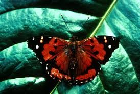 the kamehameha butterfly is the state butterfly of hawaii the kamehameha butterfly is the state butterfly of hawaii