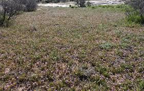 Southwest Colorado Wildflowers, Erodium cicutarium