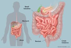 an illustrated diagram of the human intestinesillustration of human intestines
