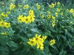 Helianthus decapetalus - Michigan Flora
