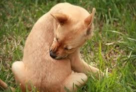 Картинки по запросу фото блох у собак
