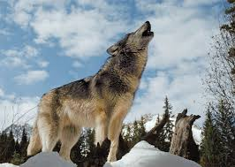 <b>Wolves</b>: Fact and Fiction | National Geographic Society