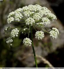 Peucedanum oreoselinum | Flora-On