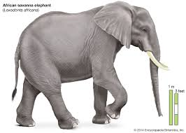 <b>elephant</b> | Description, Habitat, Scientific Names, Weight, & Facts ...
