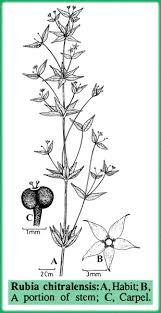 Rubiaceae in Flora of Pakistan @ efloras.org