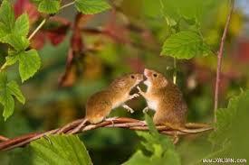 Kết quả hình ảnh cho loài chuột