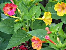 Image result for plants Four O'Clock