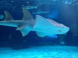 newport aquarium studying why shark ray pups died wvxu sweet pea is back on exhibit at the newport aquarium