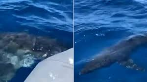 Chilling moment great white shark circles <b>father and son fishing</b> on ...