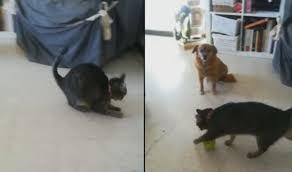 <b>Кошка</b> продемонстрировала необычную «технику» игры с ...