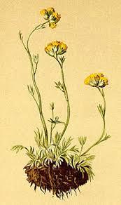 Artemisia glacialis Glacier Wormwood PFAF Plant Database