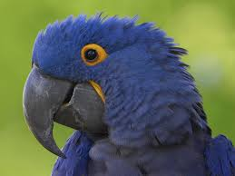 5. Hyacinth Macaw