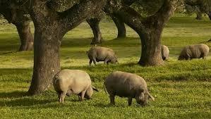 Resultado de imagen de cerdo dehesa