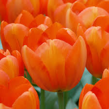 Тюльпан «Оранж <b>Баллун</b>» 12 в Кемерове – купить по низкой ...