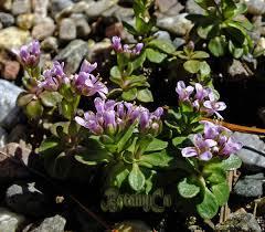 Thlaspi stylosum – Botanically Inclined – Seed Adventures