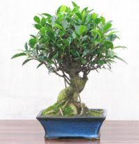 a superb and undemanding tree for indoor bonsai tolerates low light and high temperatures all year round perfect for the office or home bonsai tree for office