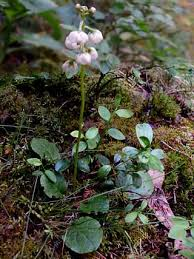 Intermediate Wintergreen, Pyrola media - Flowers - NatureGate