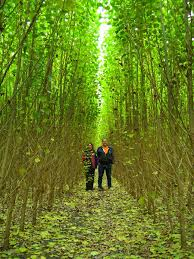 Image result for hybrid poplar for biomass