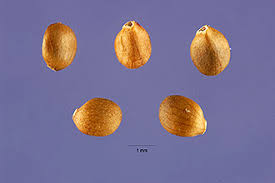 Plants Profile for Salvia verticillata (lilac sage)