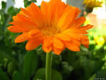 Images & Illustrations of common marigold