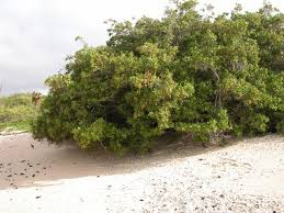 Conocarpus Erectus-Buttonwod.... Images?q=tbn:ANd9GcSPN78osl9O7qSBnzsxuCmXO_RUU2kk90f1rUgH3XrkBM8HC0A81Q