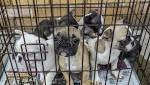 Backing for ban on puppies being sold by dealers