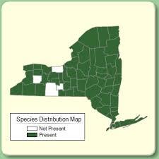 Ranunculus acris - Species Page - NYFA: New York Flora Atlas