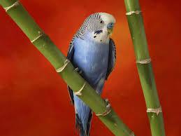 Muhabbet kuşuna eğitim nasıl verilir